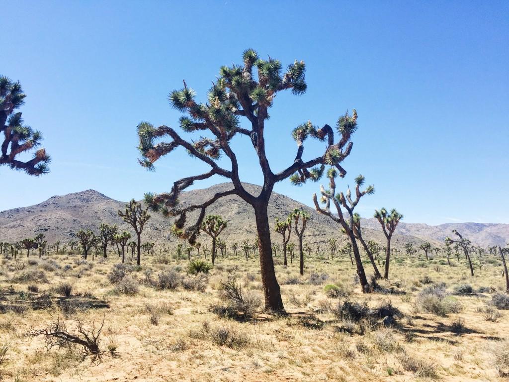 #joshuatree #yuccavalley #desert #california TheDailyMonarch.com